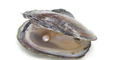 Mulette perlière, Margaritifera margaritifera